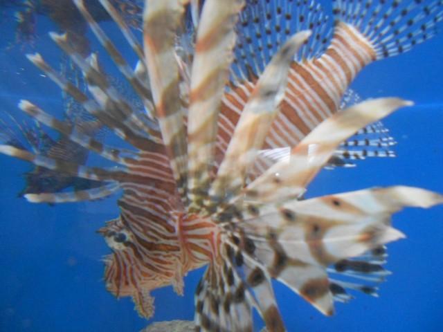 Lionfish, de plaag van de Caribische zee. At is er dol op!